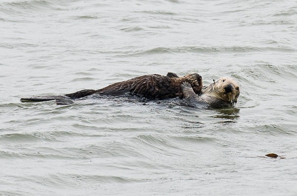 Mummy otter rafting her young