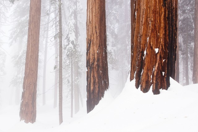 Spooky pine forest, winter in Sequoia National Park