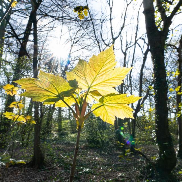Springtime leaf buds burst.
