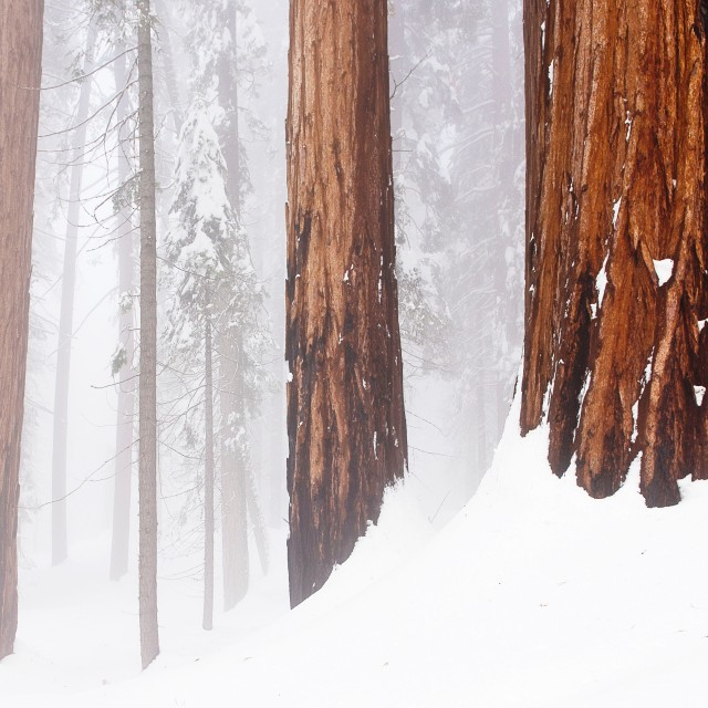 Pine trees in Sequoia National APrk.